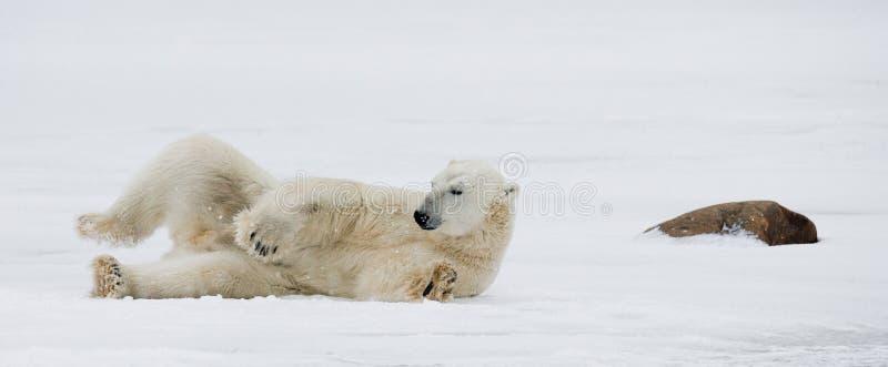 Niedźwiedź polarny kłama w śniegu w tundrze Kanada Churchill park narodowy obraz stock