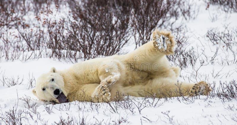 Niedźwiedź polarny kłama w śniegu w tundrze Kanada Churchill park narodowy zdjęcia stock