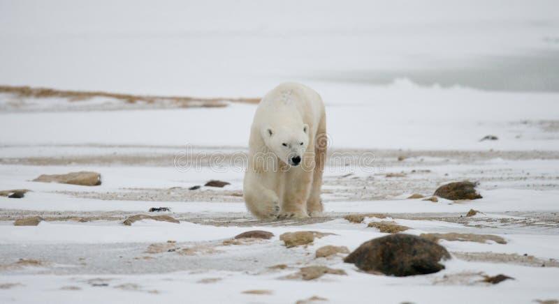 Niedźwiedź polarny na tundrze śnieg Kanada obrazy royalty free