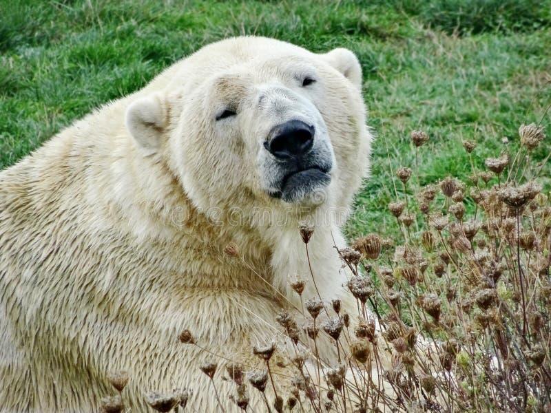 Niedźwiedź polarny, północny niedźwiedź, umka Lat Ursus maritimus światu wielki gruntowy drapieżnik Wiosna w tundrze obraz royalty free
