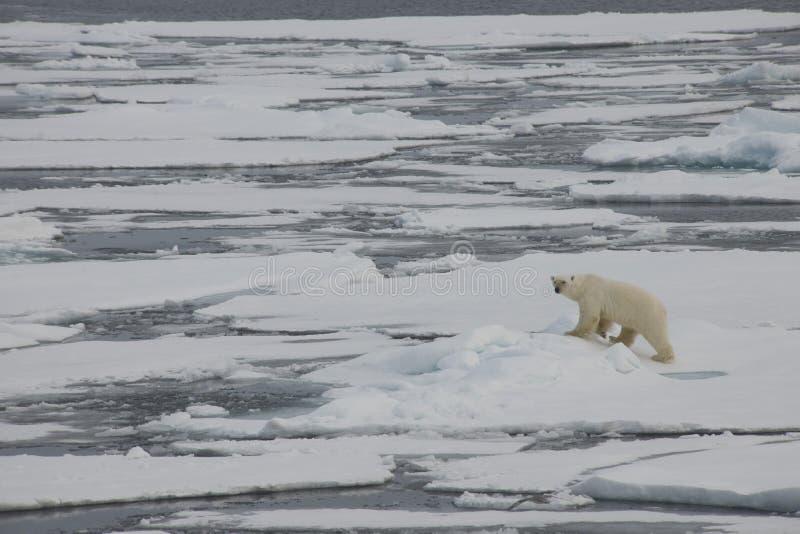 Niedźwiedź polarny pływa i sztuki między lodowymi floes w Arktycznym nawadniają zdjęcia royalty free