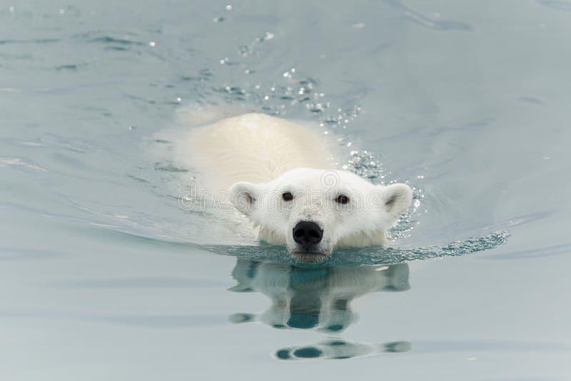Niedźwiedź polarny pływa w morzu fotografia royalty free