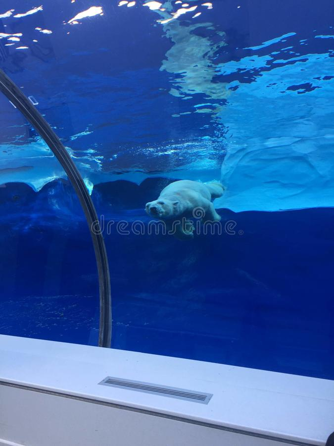 Niedźwiedź polarny pływa w wielkim basenie jak ocean z górami lodowymi fotografia stock