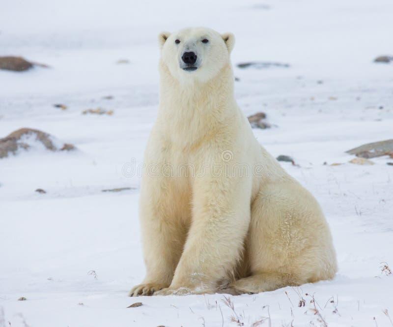 Niedźwiedź polarny siedzi w śniegu na tundrze Kanada Churchill park narodowy fotografia stock