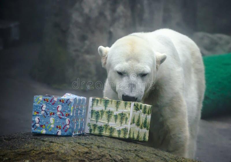 Niedźwiedź Polarny z Bożenarodzeniowymi prezentami obraz stock