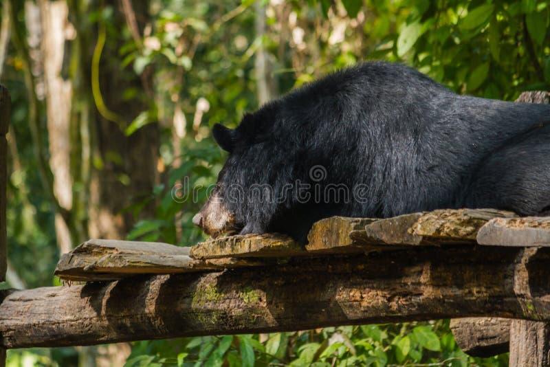 Niedźwiedź przy Kouangxi wody spadkiem laos luang prabang zdjęcie royalty free