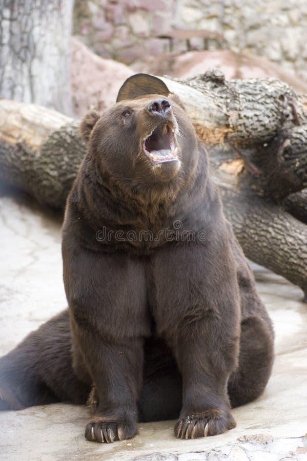 niedźwiedź ryczący fotografia royalty free