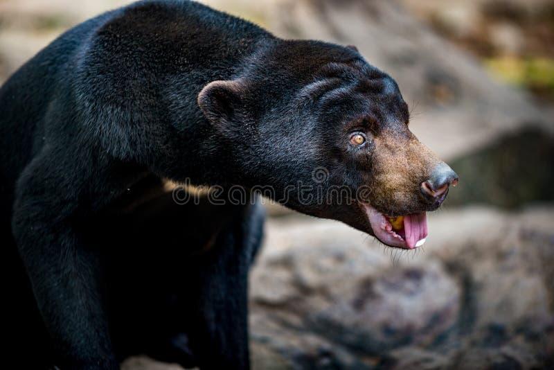Niedźwiedź słońca Helarctos malajanus zdjęcie royalty free