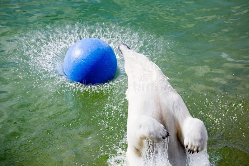niedźwiedź skokowy biegunowy obrazy royalty free