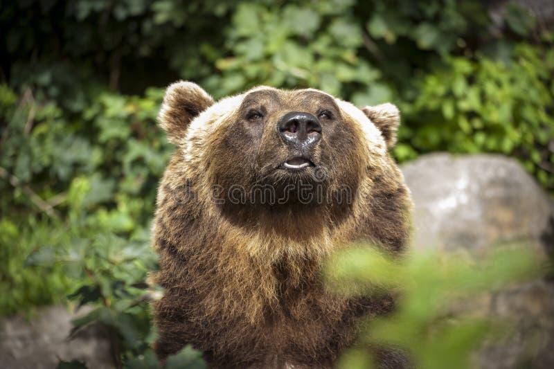 Niedźwiedź wśród liści zdjęcie royalty free