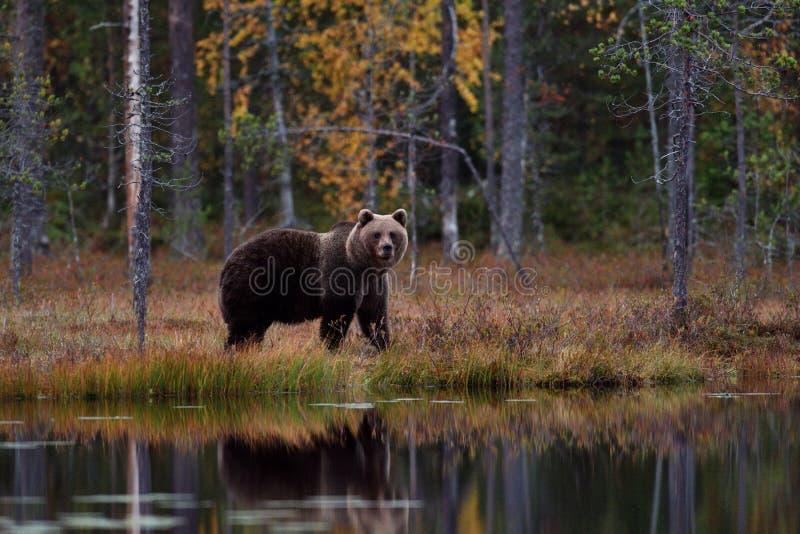 Niedźwiedź w jesień lesie zdjęcia stock
