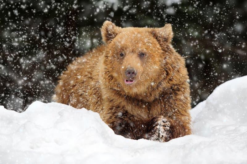 Niedźwiedź w zima czasie zdjęcia stock