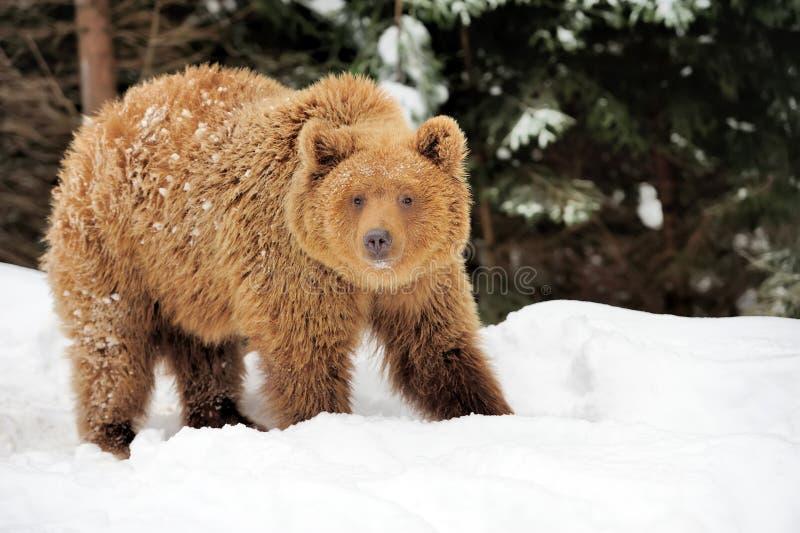 Niedźwiedź w zima czasie obrazy stock