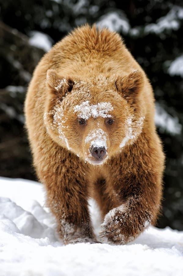 Niedźwiedź w zima lesie zdjęcia royalty free