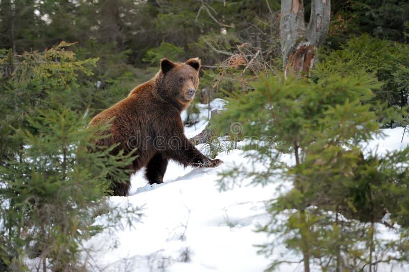 Niedźwiedź w zimie obrazy royalty free