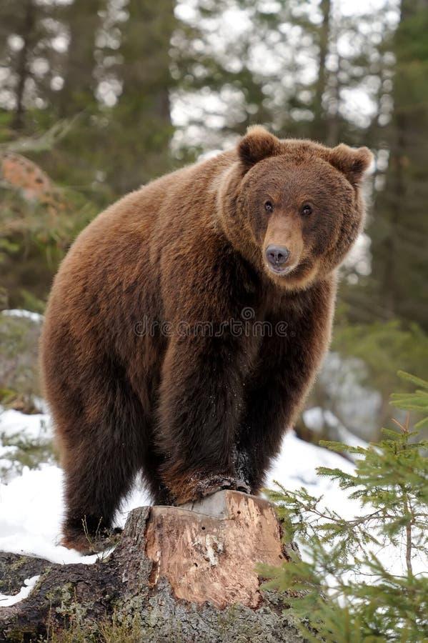 Niedźwiedź w zimie zdjęcie stock