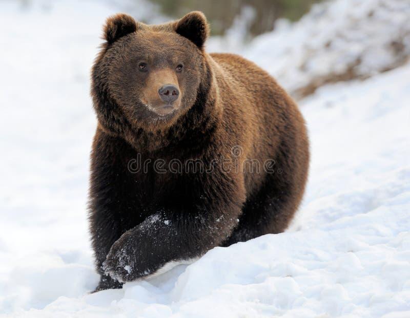 Niedźwiedź w zimie zdjęcie royalty free