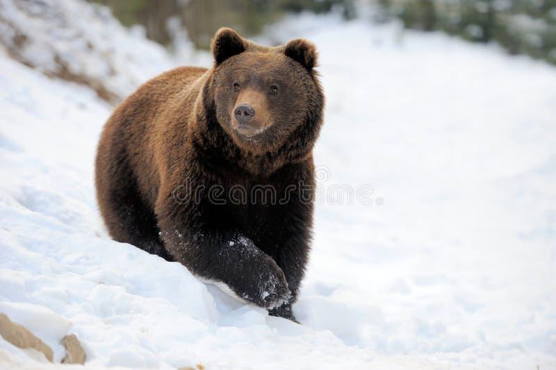 Niedźwiedź w zimie zdjęcia stock