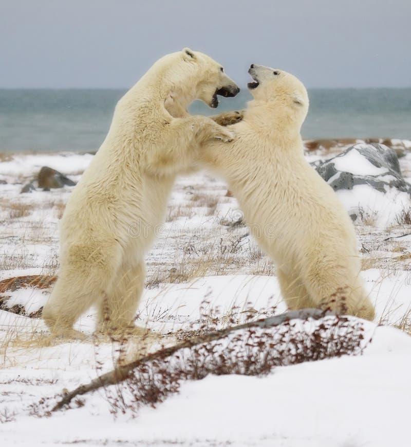 Niedźwiedzi Polarnych zacierać się obraz royalty free