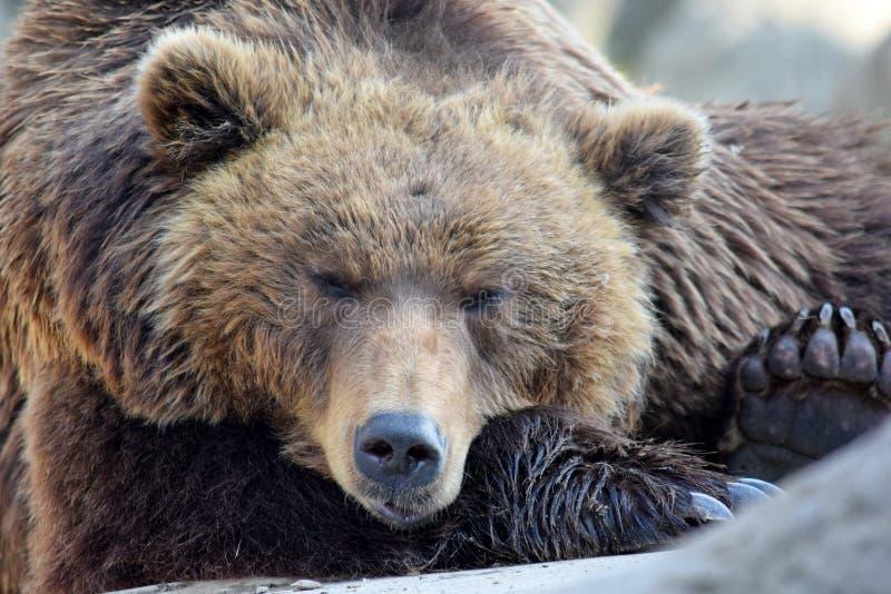 Niedźwiedzia Brunatnego Ursus Arctos Beringianus głowy zbliżenia portret obrazy stock