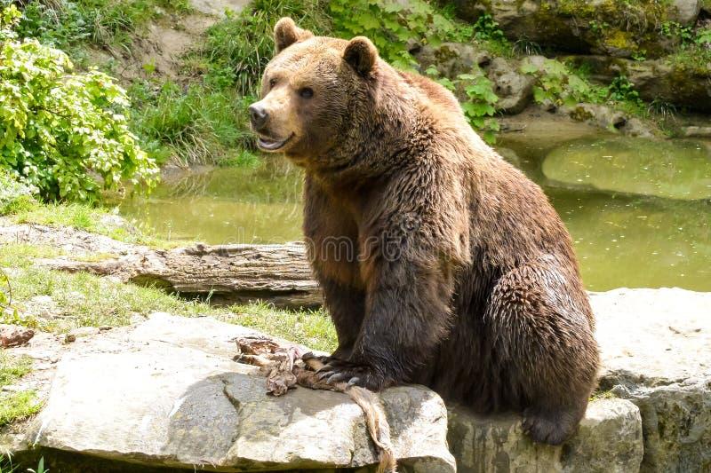 Niedźwiedzia brunatnego Ursus arctos siedzi na małym jeziorze fotografia stock