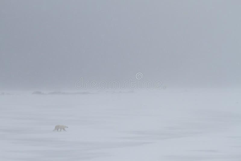 Niedźwiedzia polarnego śnieżyca fotografia royalty free
