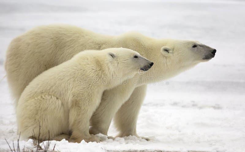 Niedźwiedzia polarnego lisiątko i locha zdjęcia stock