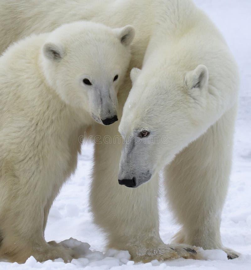 Niedźwiedzia polarnego lisiątko i locha zdjęcie stock