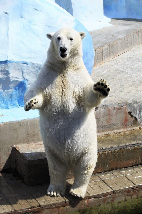 Niedźwiedzia polarnego stać zdjęcie royalty free
