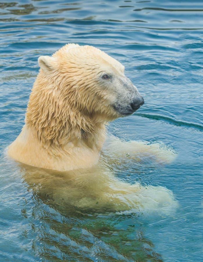 Niedźwiedzia polarnego unosić się fotografia royalty free