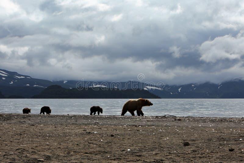niedźwiedzie obrazy royalty free