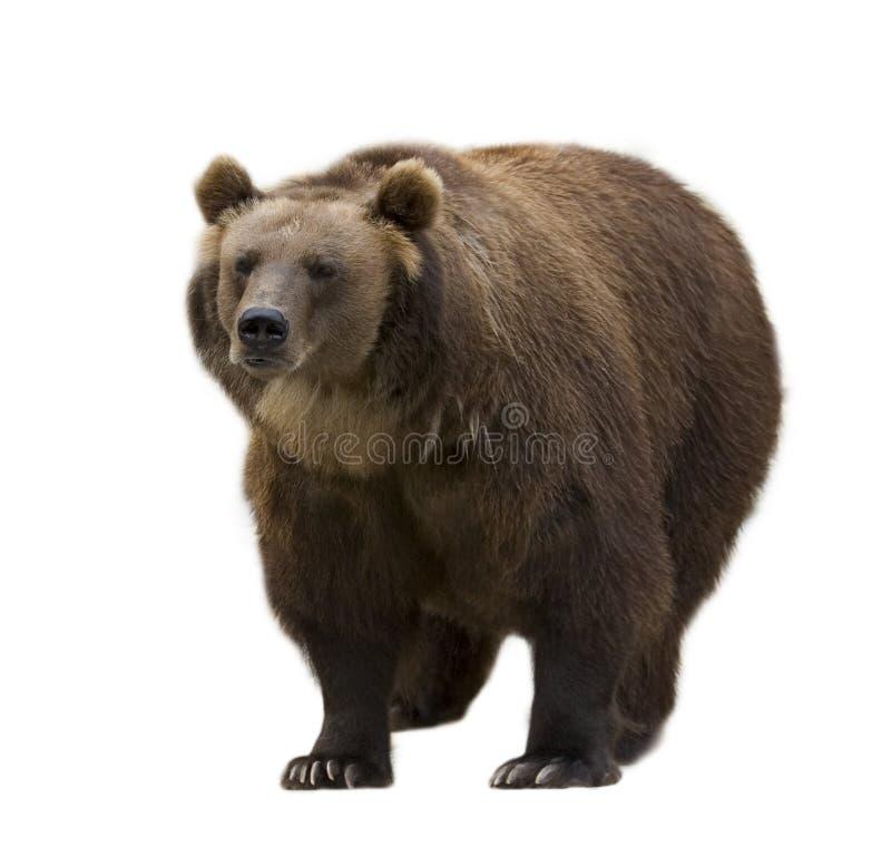 niedźwiedzie brązu pojedynczy white obrazy stock