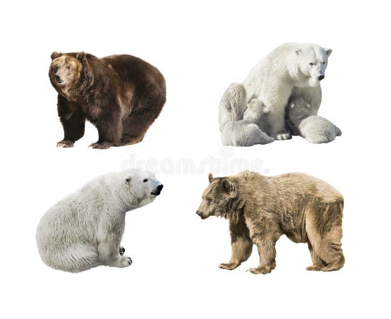 Niedźwiedzie od różnych kontynentów na białym tle zdjęcie stock