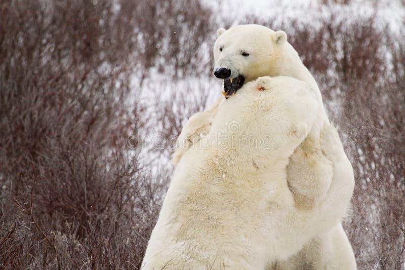 Niedźwiedzie polarni zaciera się w krzakach zdjęcia stock