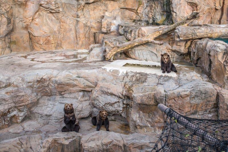 Niedźwiedzie przy Chimelong oceanu królestwa kurortem w Zhuhai, Chiny fotografia stock