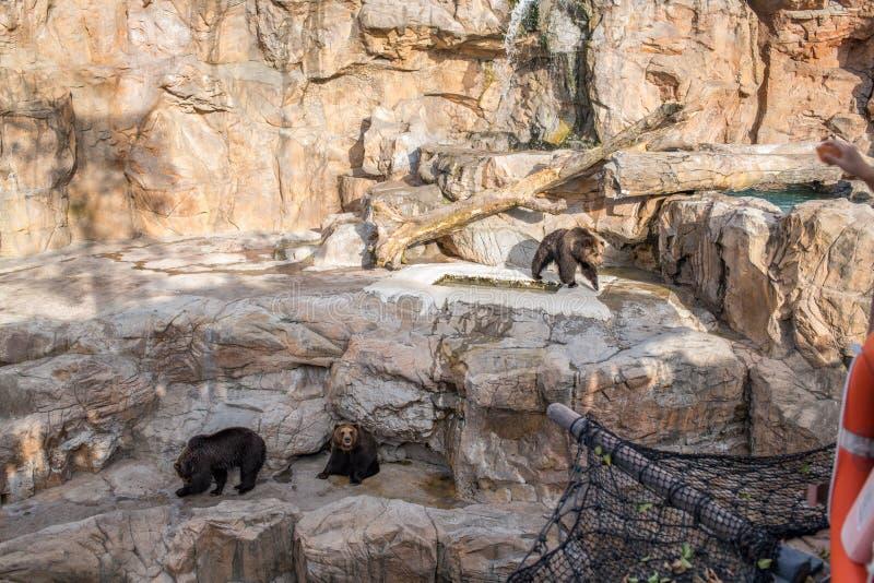 Niedźwiedzie przy Chimelong oceanu królestwa kurortem w Zhuhai, Chiny obraz stock