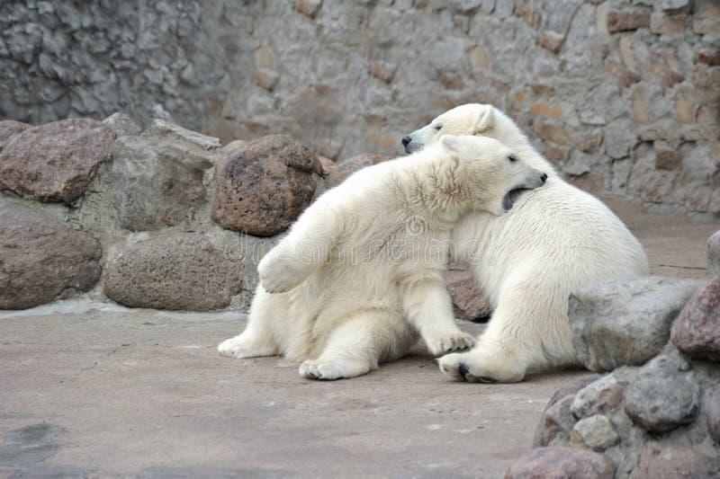 niedźwiedzie target178_1_ mali biegunowi dwa zdjęcie stock