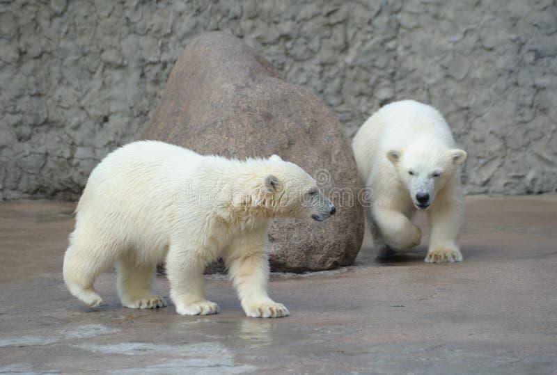 niedźwiedzie trochę biegunowi dwa obrazy royalty free