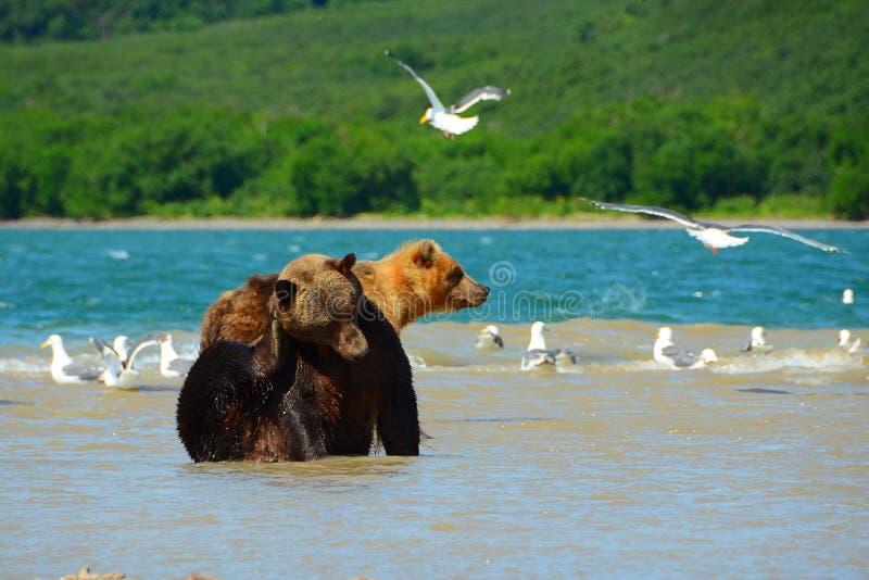 Niedźwiedzie tropią na dzikim łososiu zdjęcia stock
