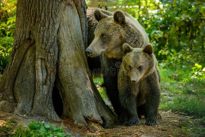 Niedźwiedzie w lesie od Zarnesti naturalnej rezerwy blisko Brasov, Transylvania, Rumunia obrazy royalty free