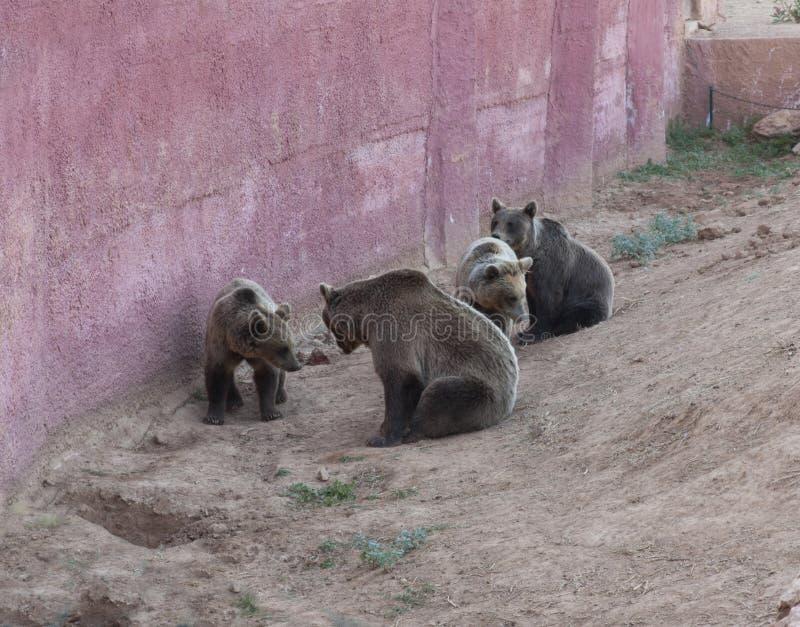 Niedźwiedzie w zoo fotografii zdjęcie royalty free