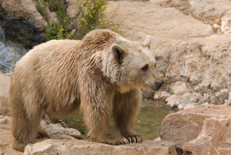 Niedźwiadkowy syryjczyk