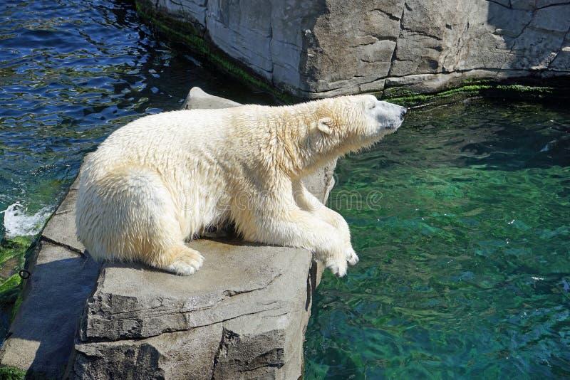 Niedźwiedź Polarny, fauna, niedźwiedź, zoo obraz stock