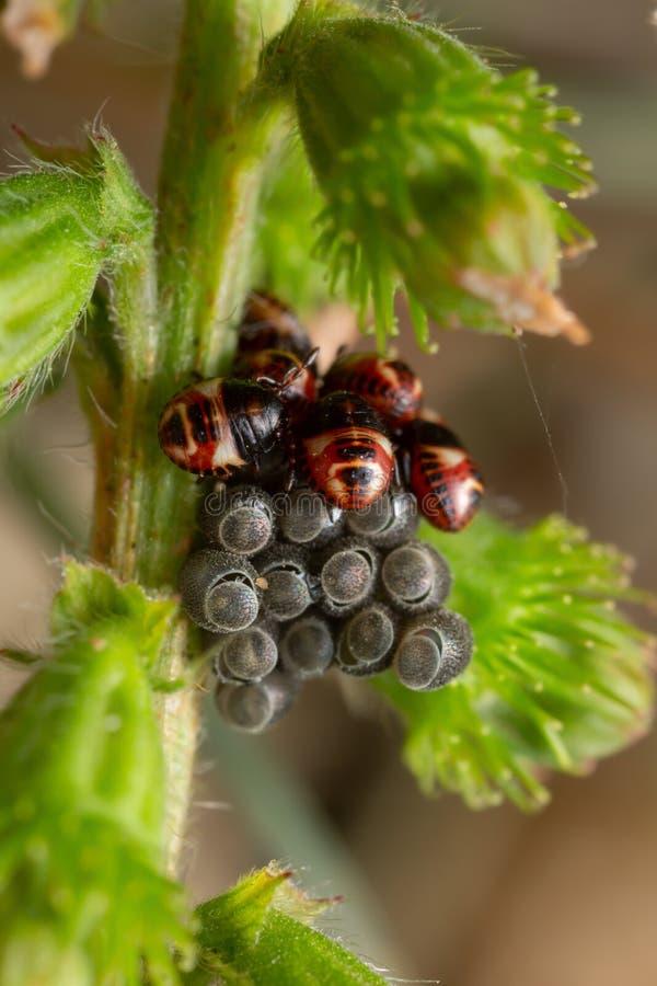 Niedawno kluć się boginki osłony pluskwy Carpocoris purpureipennis na pospolitym agrimony, Agrimonia eupatoriów roślina zdjęcia stock
