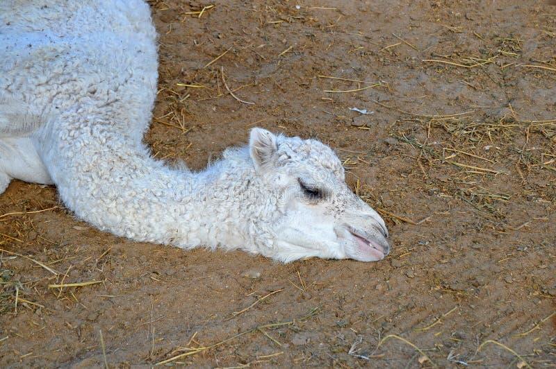 Niedawno Urodzony wielbłąd zdjęcia stock
