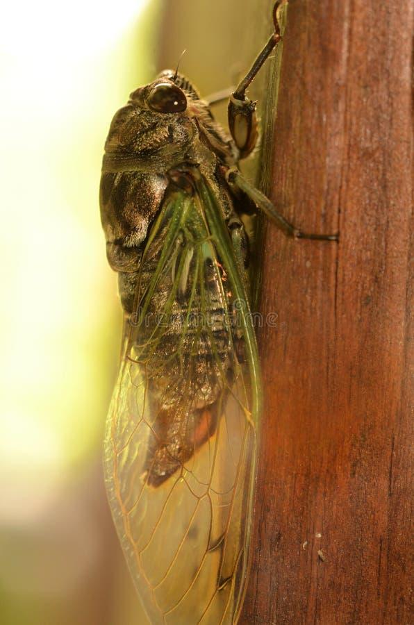 Niedawno wyłaniająca się cykada z transluscent skrzydłami obrazy royalty free