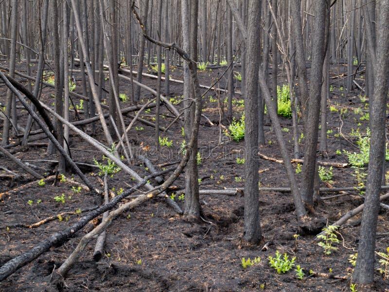niedawny oparzenie borealny las zdjęcia royalty free