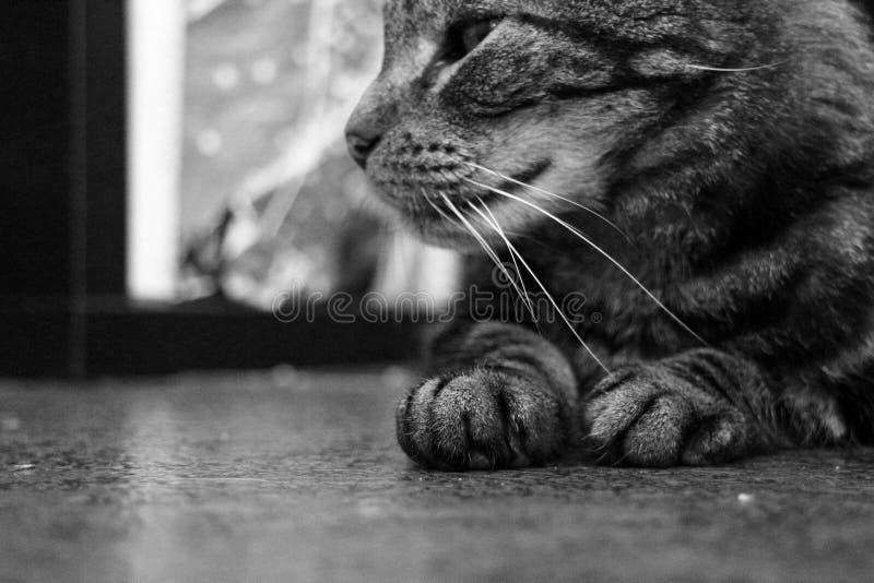 Niedere Seitenansicht von Pfauen und Halbkopf mit Whiskers auf einer gemusterten, schwarz-grauen Hauskatze lizenzfreies stockbild