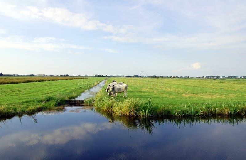 Niederländische flache Landschaft mit Kühen und Rasenflächen stockfotografie