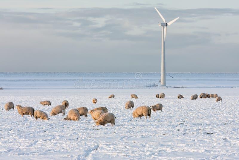 Niederländische Landschaft mit windturbine und Schafen im Schnee bedeckte Wiese lizenzfreie stockfotografie